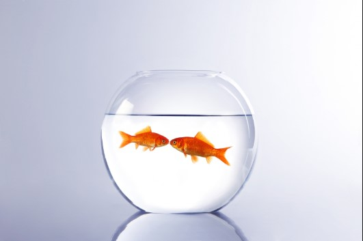 2 goldfish in a bowl