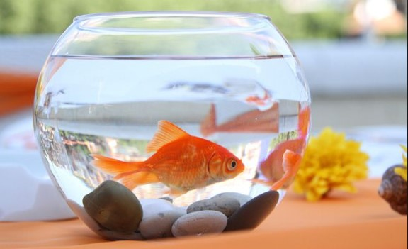 How to Take Care of a Goldfish in a Bowl?