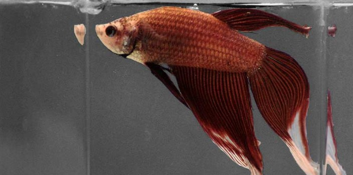 What to Feed Betta Fish When Out of Food?